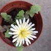 お久しぶりです ^^;  種を撒いておいたシロバナタンポポが咲きました。