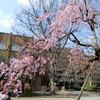 桜咲いたよ