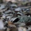 8/7・奈良公園のムラサキツバメ ~ 暑い昼下がり、暗がりの林で多くの姿に出会えました