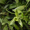 バニラの花  Vanilla planifolia