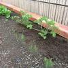 蚊除け対策になる!?蚊連草ハーブゼラニウムを植えました
