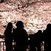 1年前、夜桜を見に行きました