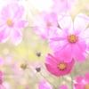9月14日は「コスモスの日」その2~コスモスの語源は何でしょうか?(*´▽`*)~