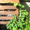 庭の朝と、キウイと梨のジャム