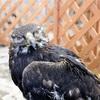 国内最高齢のイヌワシ「鳥海」死ぬ…推定47歳