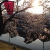 夕陽の中の 桜  ~ソメイヨシノ~ を眺めて、新年度の心の疲れを癒しましょう