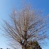 【散歩】小田原フラワーガーデンの梅。早咲きの梅がだいぶ咲きました。