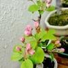 桜から姫リンゴへ、盆栽の主役交代