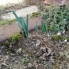 春待ちのチューリップと水仙