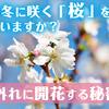 秋から冬に咲く「桜」があるのを知っていますか?季節外れに開花する秘密とは