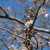 桜:いすみ鉄道沿線