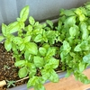 西向きのベランダに植えるならハーブがオススメ 種まき編