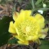 ウチワサボテンの黄色い花と青いぶどう♪
