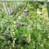 ~ミニトマトの横誘引栽培その後~小さな庭の家庭菜園~