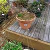 バラ鉢植え 植え替え作業
