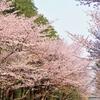 札幌の桜が見えるお花見穴場おすすめ2選|札幌で桜を楽しめる場所