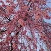 京都の桜はこれからが本番!少し早めのお花見へ行ってみた