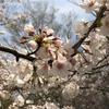 桜と鍼でスイッチオン