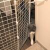 100均手作りペットゲートで脱走防止★ 驚!玄関開けたら猫がいた!