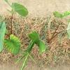 サトイモの成長