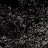 自分で植えた桜で花見をしよう2 夜桜で花見