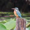 鳥撮り@明治神宮御苑でカワセミ、ヤマガラ