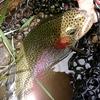 北海道 伊逹市 BIG FIGHIT 松本  / 大きく引きの強い魚を釣りたくて