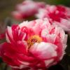 咲き始めたボタン:薬用植物管理センター