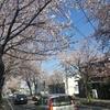 今日のつまがり4/5(金) 桜並木と旧知の顔と