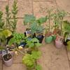 ポタジェに植えこむ野菜たちと、今日の仔猫たち