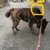 甲斐犬の秘密〜蓑毛(「`・ω・)「ガオーッ!