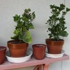 カランゴエは電照菊と反対の育て方だった。