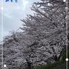おばちゃん地方の桜 Version3