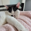 猫の大動脈血栓塞栓症2