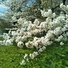 桜 ときどき不審者