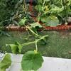 かぼちゃの空中栽培とウリハムシ