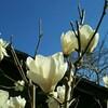 庭のモクレンが咲きました。