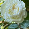 ミニバラとベランダの小花達