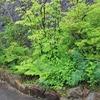 肴の駐車場で『飛騨の山野草』楽しめますよ!