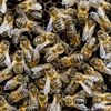 こんなに尽くしているのに、殺すなんて!:ミツバチの受難 (BBC-Science & Environment, June 29, 2017)