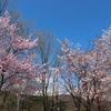 桜の下でプチお花見と外遊び