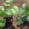 きゅうりの植え付けをしてから 畝の準備をあちこち しました