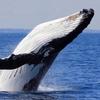 クジラは人類の希望?クジラ1頭で2臆円の経済効果?!