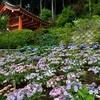 三室戸寺のアジサイ、見頃や開花状況。ライトアップあり。