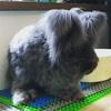 アンゴラウサギ のオススメサマーカット