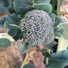 【家庭菜園】ブロッコリーの脇芽