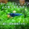 ターコイズシュリンプをより青くする方法!遺伝と飼育環境が大切!