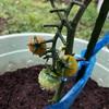 今日のトマト ナスビの収穫