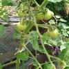 この土日のいろいろと、トマトの生命力の強さ。