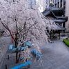 京都・洛中 - 六角堂の御幸桜